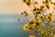 采花粉的蜜蜂图片_10张