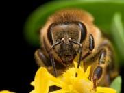 采蜜的蜜蜂图片_10张
