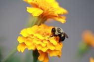 采蜜的蜜蜂图片_12张