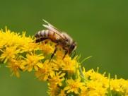 采蜜的蜜蜂图片_15张