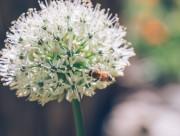采蜜的小蜜蜂图片_13张