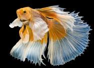 彩色金鱼图片_13张