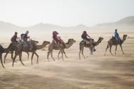沙漠中的駱駝圖片_13張