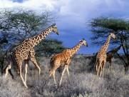 长颈鹿图片_22张