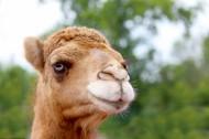 骆驼头部特写图片_7张