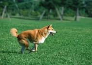 草地玩耍狗狗图片_27张