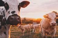草地上的可爱奶牛图片_8张