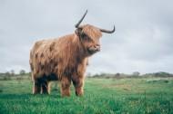 草原上的牦牛圖片_8張
