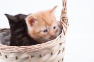 竹篮里的猫咪图片_12张