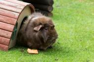荷兰猪图片_10张