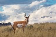 羊角特别的叉角羚图片_10张