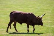 非洲长角牛图片_9张
