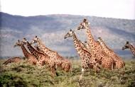 野生动物长颈鹿图片_10张
