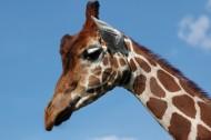 长颈鹿的头部图片_12张