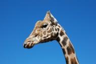 可愛長頸鹿頭部特寫圖片_11張