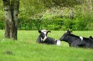产牛奶的奶牛图片_10张