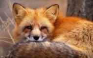 赤狐的图片_18张