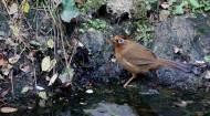 水邊的畫眉鳥圖片_8張