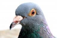 代表和平的鸽子图片_22张