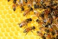 蜜蜂和蜂巢图片_18张