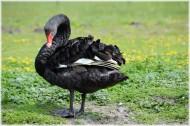 優雅的黑天鵝圖片_27張
