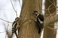 大斑啄木鸟图片_8张