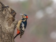 大斑啄木鸟图片_7张