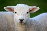 呆萌的绵羊图片_10张
