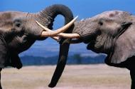 打架的大象图片_4张