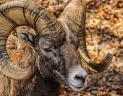 螺旋狀大角的大角羊圖片_12張