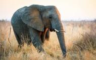 非洲草原上散步的大象图片_8张