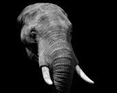 大象的头部图片_12张