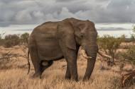 身形巨大的野生大象图片_9张
