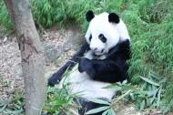 国宝大熊猫图片_13张