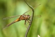 蜻蜓圖片_10張