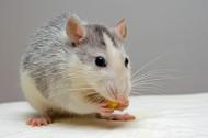 可爱的小老鼠图片_15张