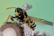 毒性强大的黄蜂图片_15张