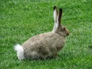 竖起耳朵的兔子图片_13张