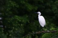 樹上的白鷺圖片_10張