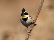 漂亮的黄喉鹀鸟类图片_5张