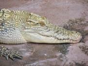 鳄鱼的头部图片_12张