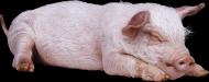小猪透明背景PNG图片_16张