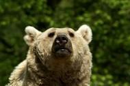 肥头大耳的棕熊图片_10张