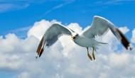 飛翔的海鷗高清圖片_13張