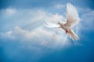 在天空飞翔和平鸽图片_13张