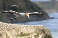 飛翔的海鷗圖片_13張