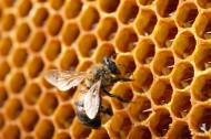 蜂巢上蜜蜂图片_7张