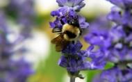 蜜蜂采蜜图片_38张