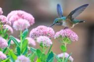玲珑小巧的蜂鸟图片_10张