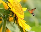 葵花上的蜂鸟鹰蛾图片_10张